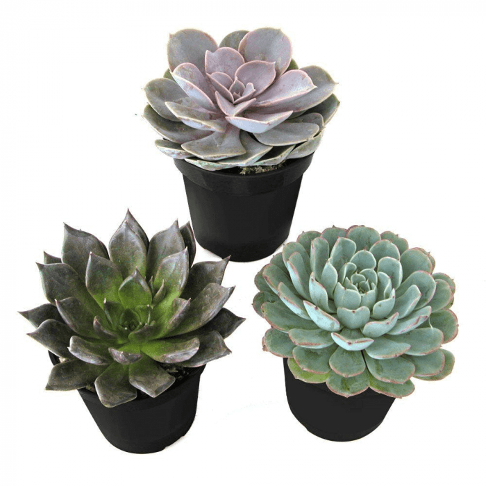Echeveria types succulents